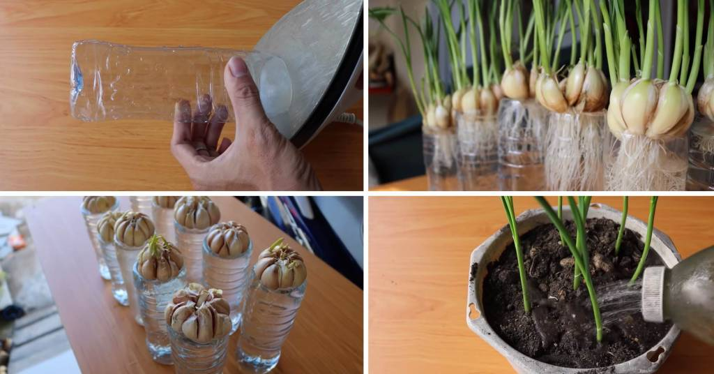 Check Out This Easy To Follow Method Of Planting Garlic At